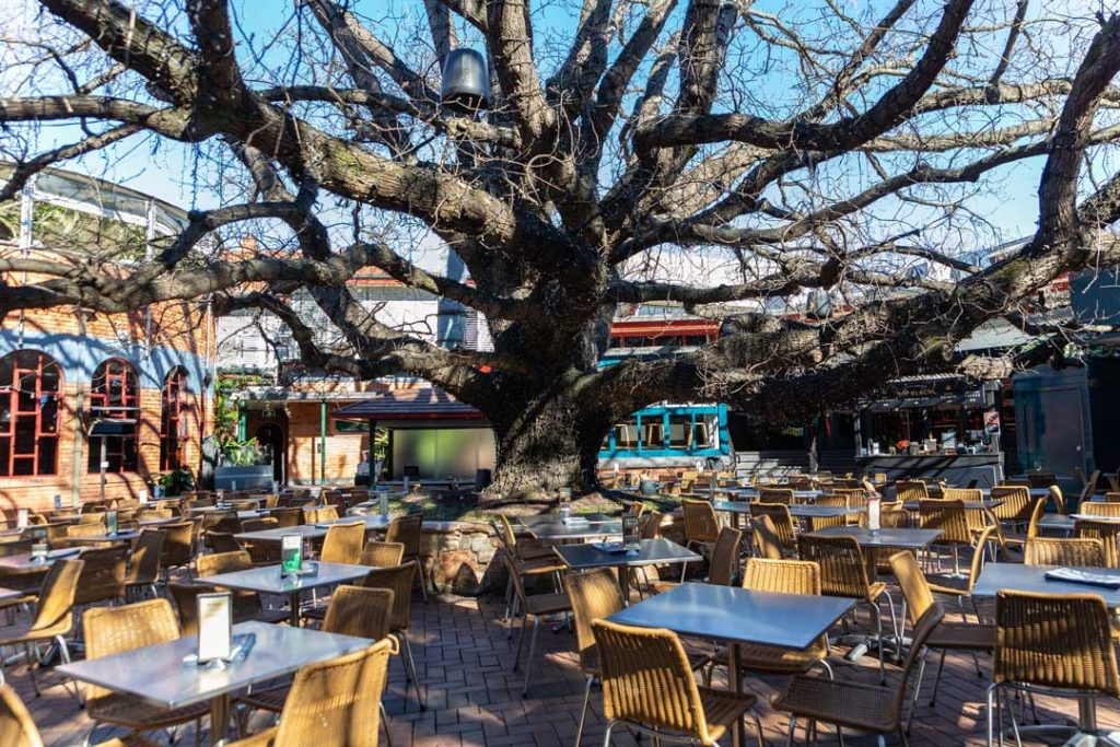 The Oaks Neutral bay iconic oak tree surrounded by tables and chairs taken for hospitality launch campaign